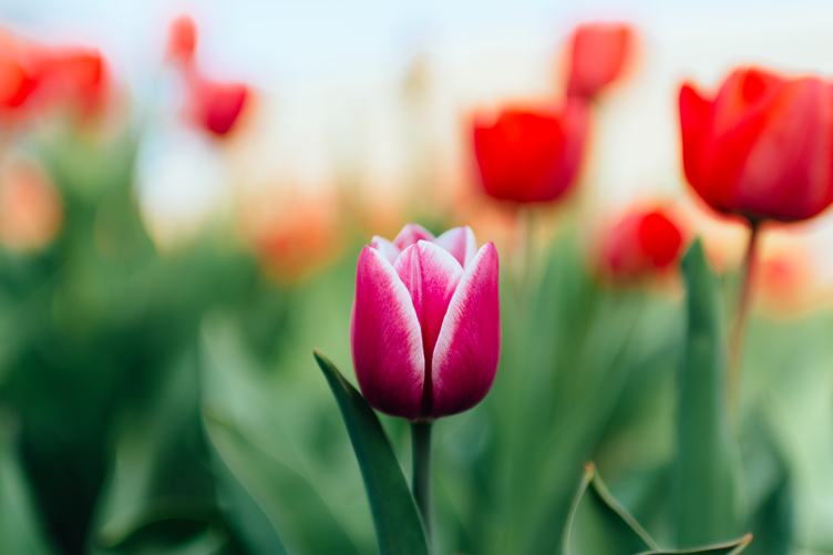 Spring Photo of Pink Tulip and Blurred Background