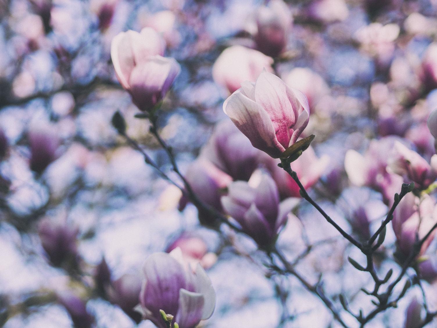 Spring Magnolia Pink Tree Flowers
