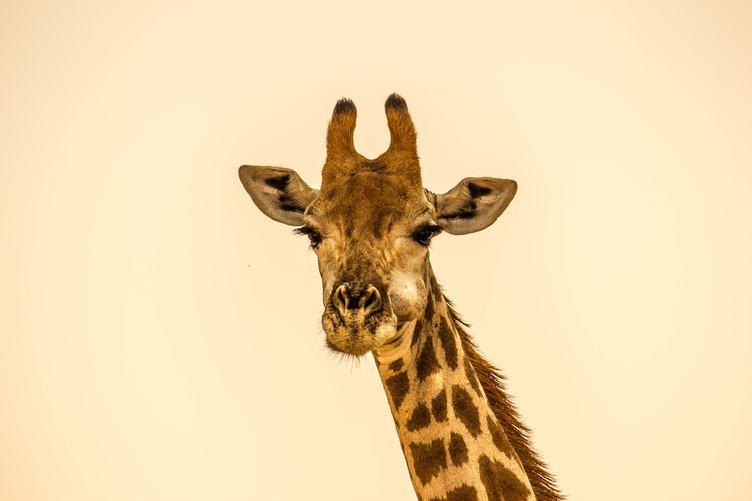 Cheweding Giraffe Portrait
