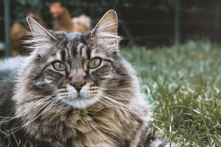 Maine Coon Cat in the Grass