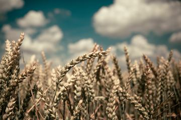 Wheat Filed with Blurred Blue Sky Background