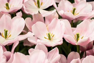 Light Pink Tulip Flowers Blooming on the Field