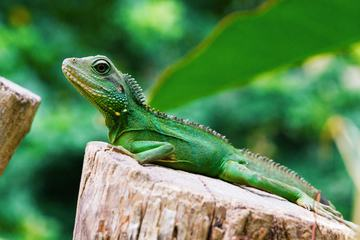 Green Lizard Beautiful Reptile in the Nature Habitat