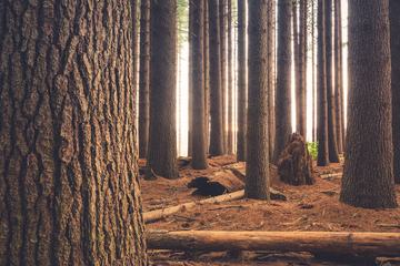 Trees Trunks in the Coniferous Forest
