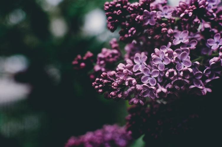 Beautiful Purple Lilac Flowers Spring Blossom Background