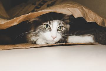 Little Maine Coon Hidden Cat in the Paper Bag
