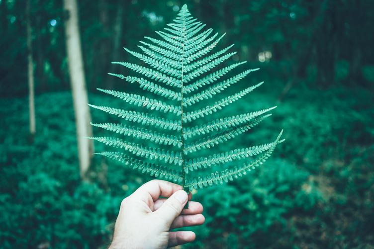 Hand Holding Big Fern Leaf on Forest Background