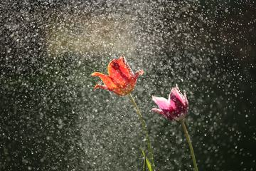 Two Tulip Flowers in Rain