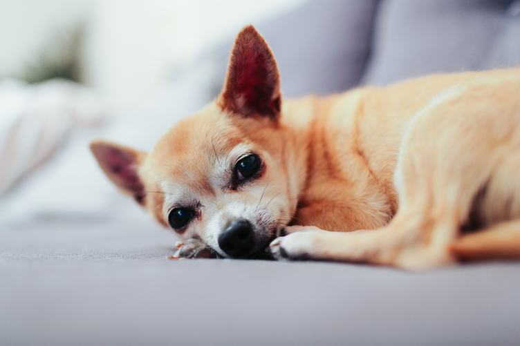 Small Dog Lying and Resting at Home