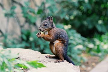 Squirrel Eating a Nut against Blurred Background