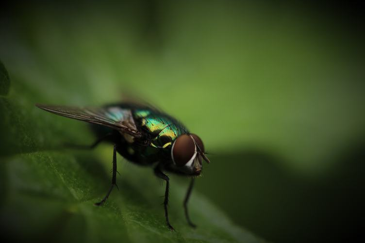 Closeup of Housefly Sitting on Green Leaf Outdoors