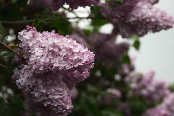 Branch with Spring Pink Lilac Flowers