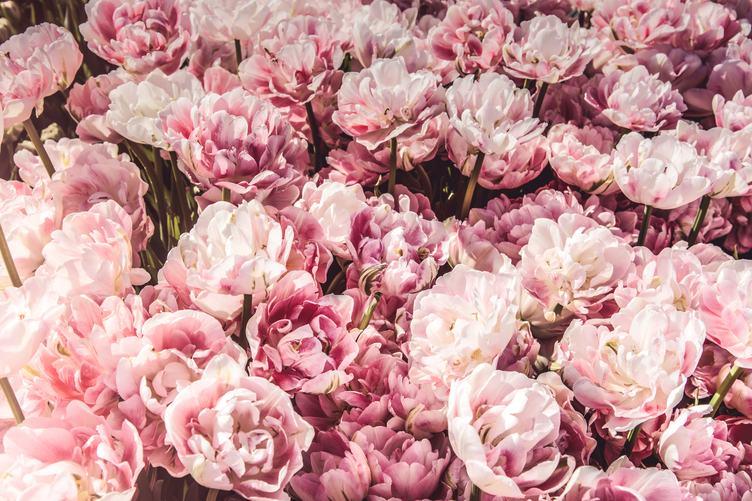 Pink Tulips Like Peonies Beautiful Spring Flowers