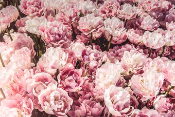 Pink Tulips Like Peonies Beautiful Spring Flowers