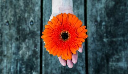 Hand Holding Red Gerbera Flower