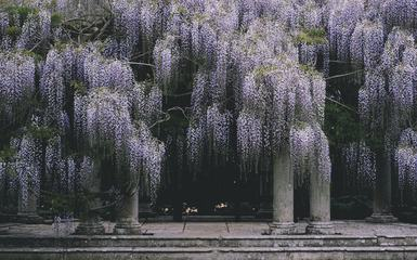 Climbing Wisteria in an Ancient Garden