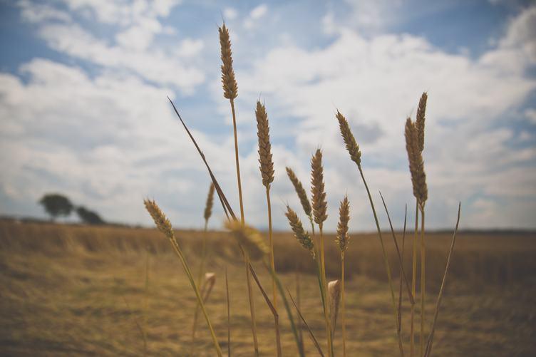 A Few Wheat Heads against Blurry Sky