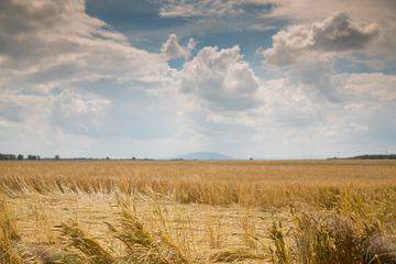 Wheat Field Summer Landscape