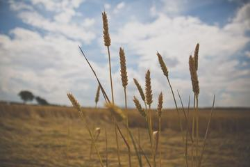 A Few Wheat Heads against Blurry Sky
