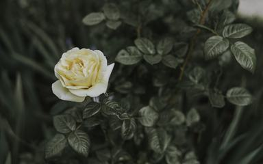 Single Flower of Yellow Rose on the Bush