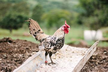 Rooster in the Countryside