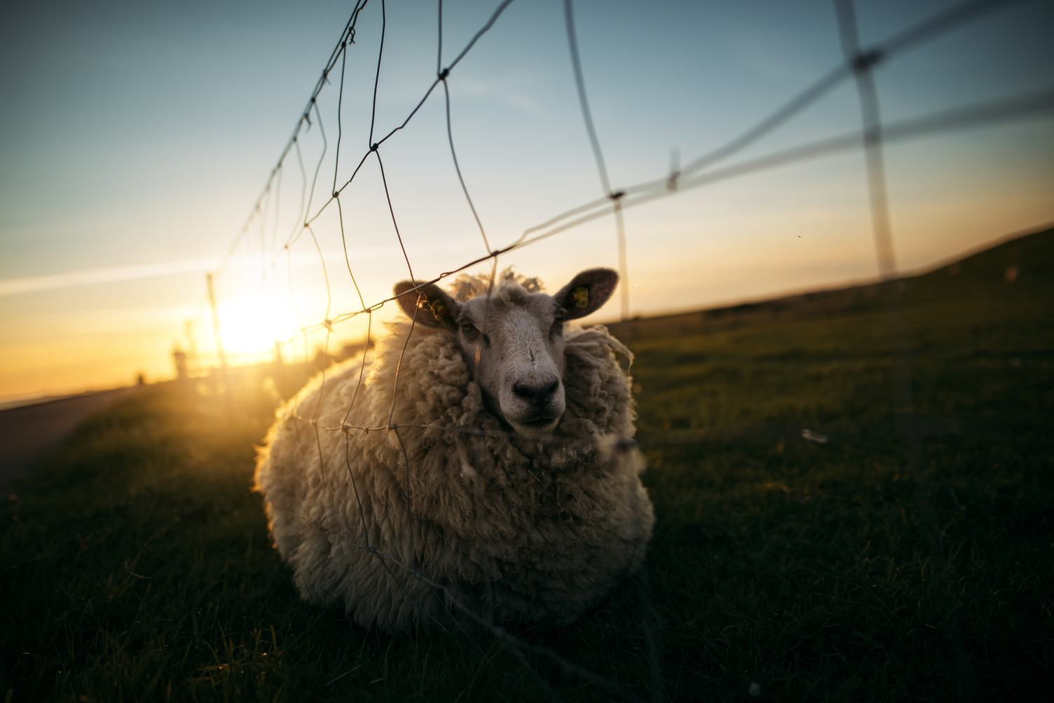 Sheep Near a Fence at Sunset