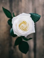 Closeup of Single White Rose
