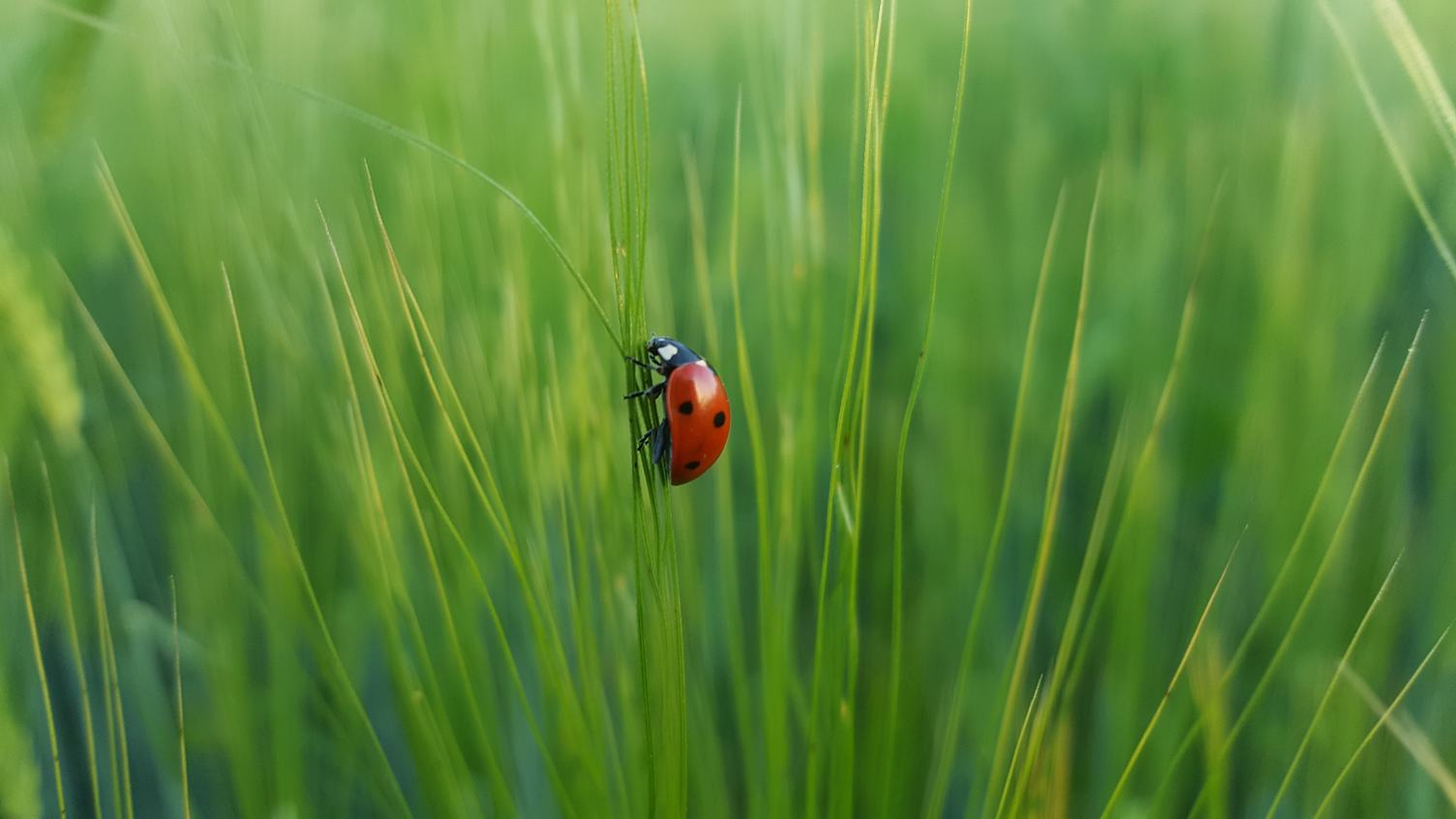 Cute Ladybug on Grass on a Green Blurred Background