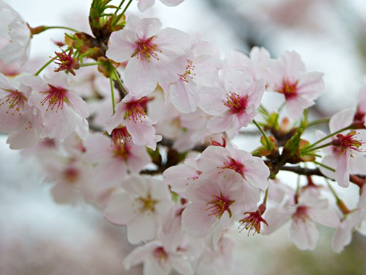 Blooming Tree with Light Pink Flowers in Spring