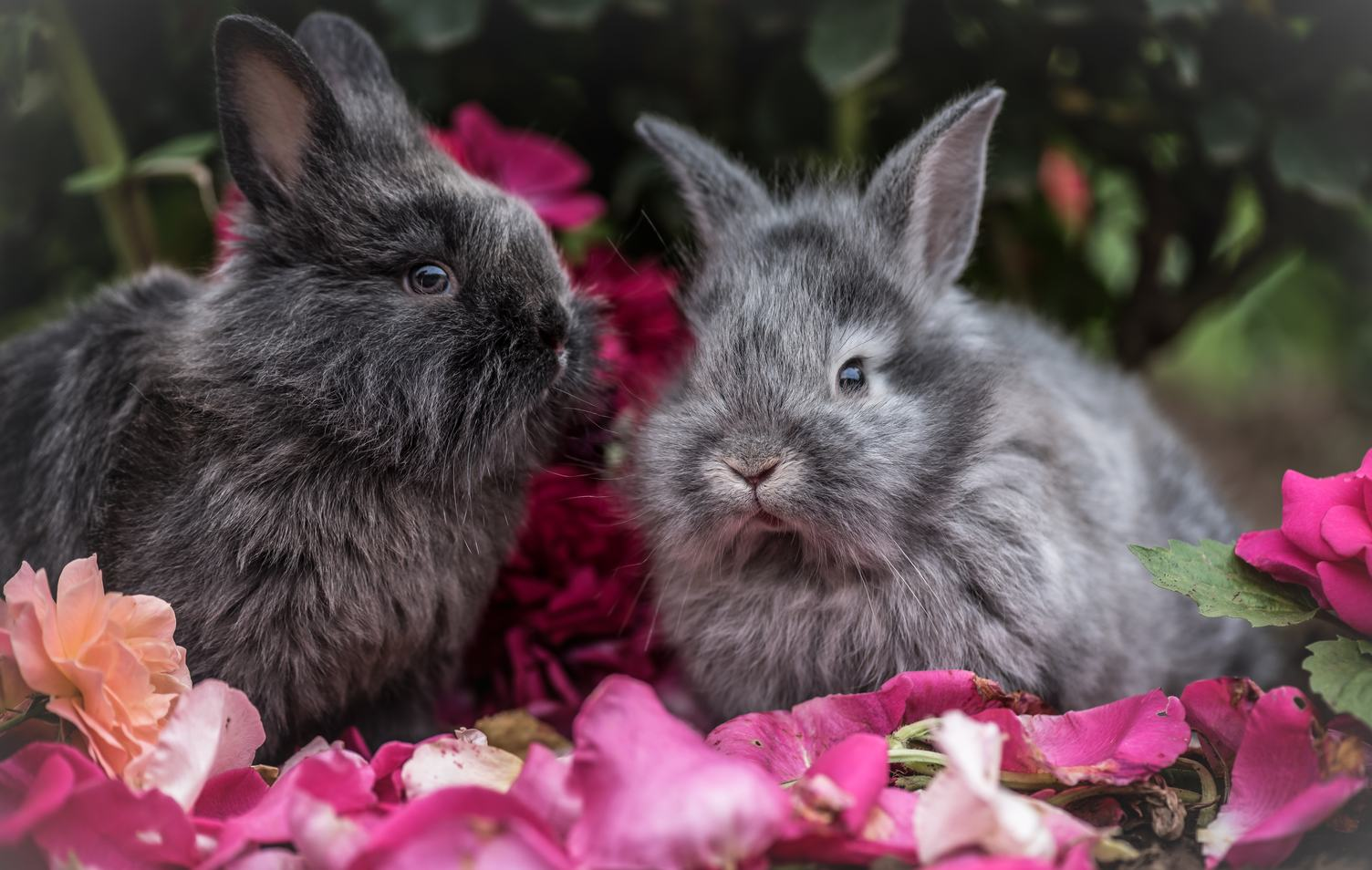Two Little Gray Dwarf Rabbits Sitting Outdoors