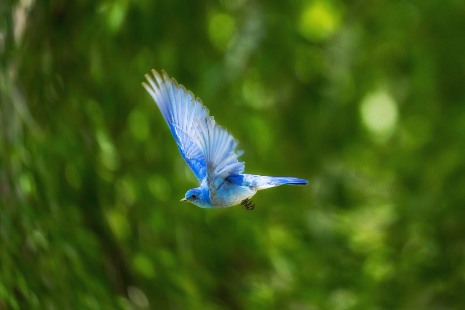 Flight of a Blue Bird