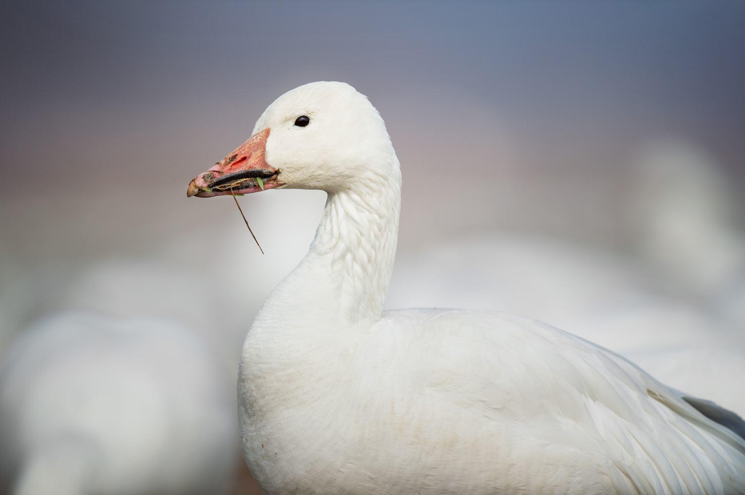 White Goose Portrait Close Up