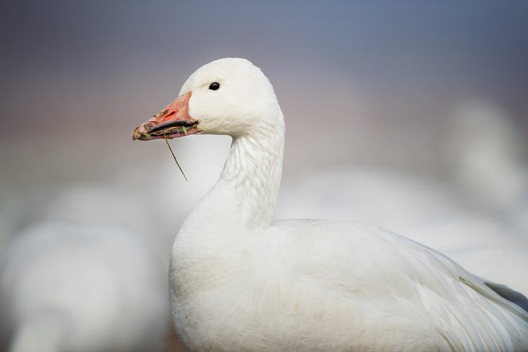 White Goose Portrait Close Up