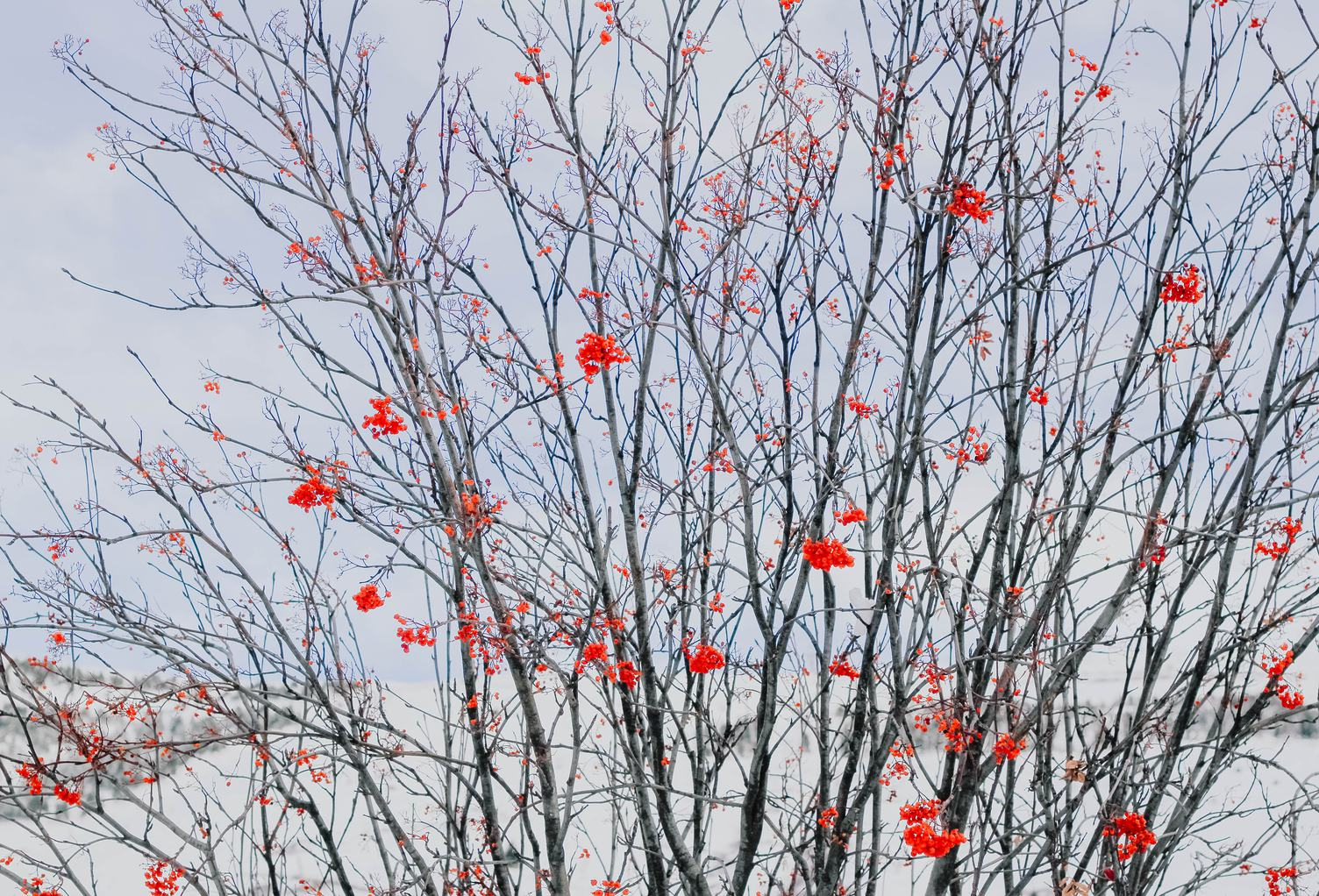 Sorbus Tree in the Winter Time