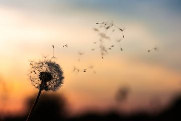 Single Dandelion Silhouette with Seeds Blowing in the Wind