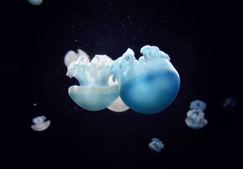 Jelly Blubber Australian Blue Jellyfish