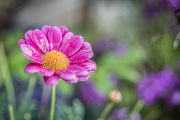 Pink Flower Petals with Water Drops Macro Shot