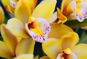 Yellow Orchid Flowers Closeup