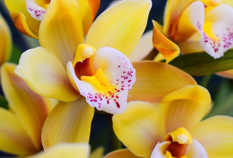Free photo yellow orchid flowers closeup mightylinksfo
