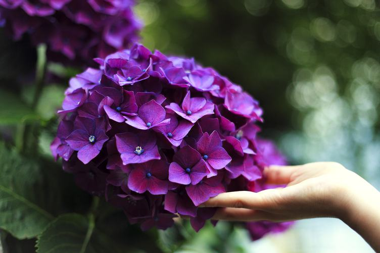Female Hand Touch Purple Hydrangea Blossoming Flowers
