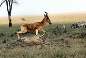 Antelope and Zebras on African Savannah