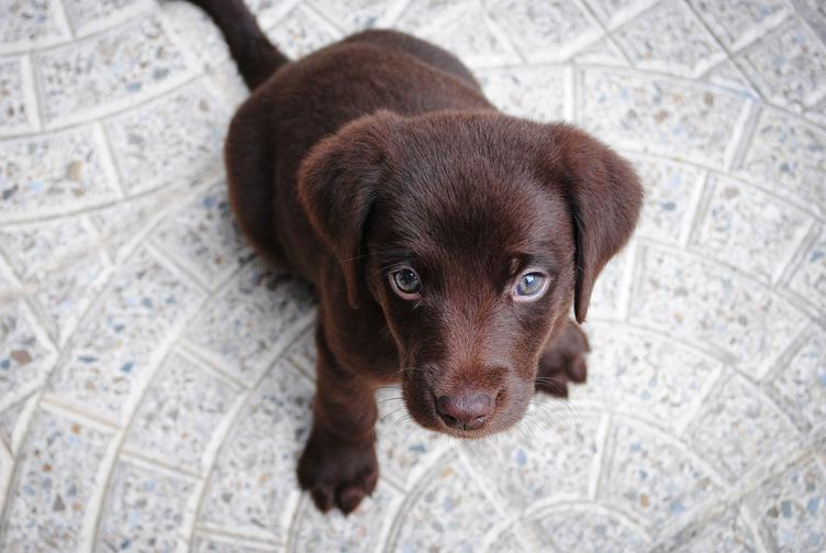 Brown Labrador Puppy Lying on the Floor