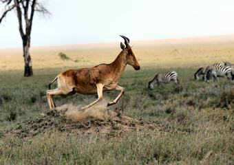 Antelope and Zebras on African Savannah