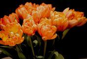 Orange Tulips on Black