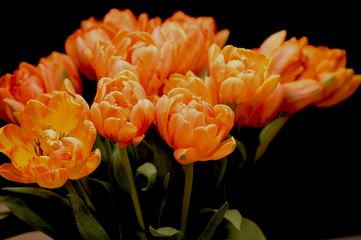 Orange Tulips on Black