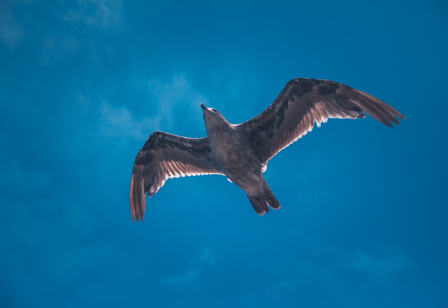 Large Bird Soaring on a Deep Blue Sky