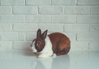 White and Brown Domestic Rabbit Sitting on the Table