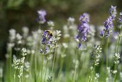 Honey Bee on a Lavender Flower