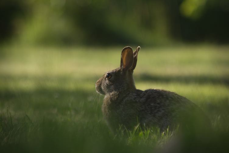 Gray Rabbit in Meadow