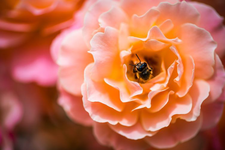 A Hony Bee Inside Pink Rose Flower